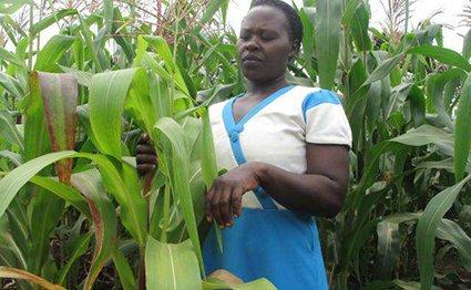 A small-scale maize farmer in her farm in Chuka.
