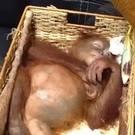 A sedated two-year-old orangutan rests inside rattan basket following the arrest of a Russian national (BKSDA Bali via AP)
