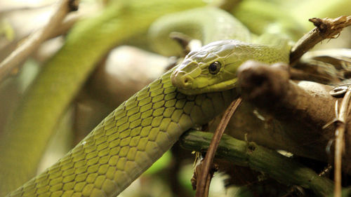 The battle to bring antivenoms to Africa