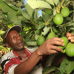 Kenyan avocados cleared for China market