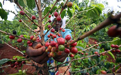 Now, 15 species of coffee face extinction in EA