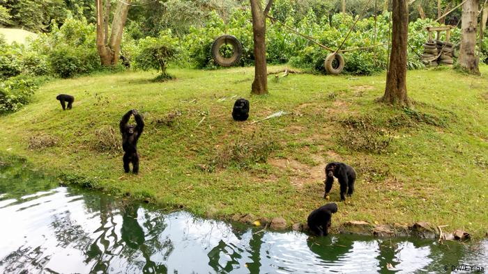 Chimpanzees play in the Uganda Wildlife Conservation Education Center